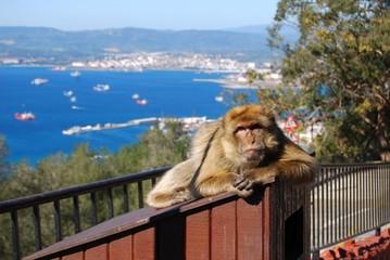 Gibraltar Barbary Macaque ape