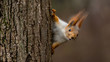 Surprised  squirrel, peeking from behind a tree - 77398920