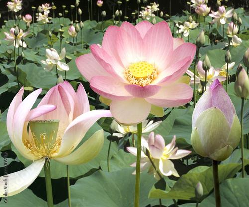 Poster Water planten Lotosblume; Lotusblumen; Lotus nucifera;