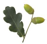 Stieleiche; Quercus; robur;