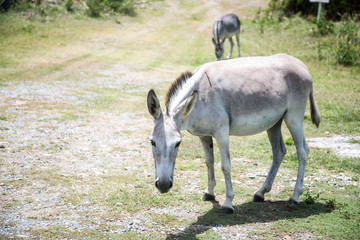 United States Virgin Islands, West Indies, St. John Island A Wild Donkey On St John Island