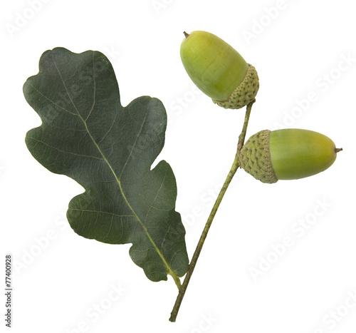 Stieleiche; Quercus; robur; - 77400928