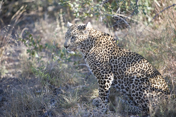 South Africa, Leopard sitting