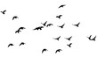 flock of pigeons on a white background - 77401319