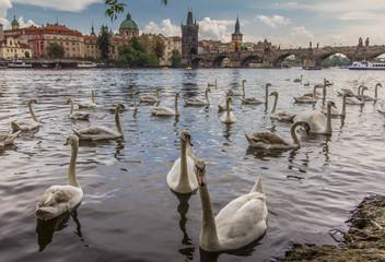 Czech Republic, Prague, White swans on Vltava River,