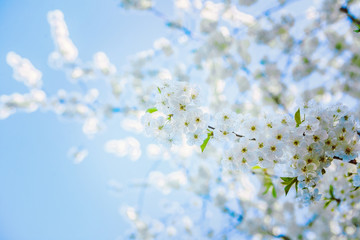view on very bright blossoming cherry tree with sky background i