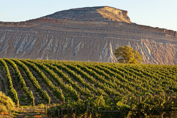 USA, Colorado, Mesa County, Sunrise over vineyard