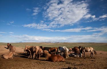 Mongolia, Gobi Desert, Mongolian horses grazing in desert