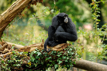 Siamang Gibbon sitting on log