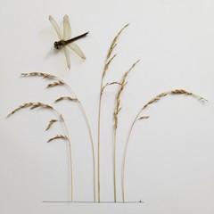 Studio shot of dragonfly