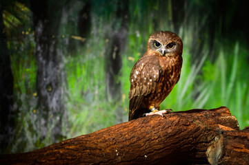 Thailand, Portrait of brown owl