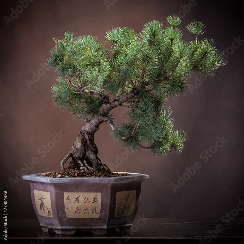 Canvas Bonsai Pino bonsai