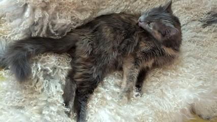 Domestic cat resting on lamb fur