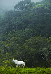 Costa Rica, White horse in jungle