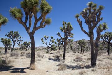 USA, View of Joshua trees in desert
