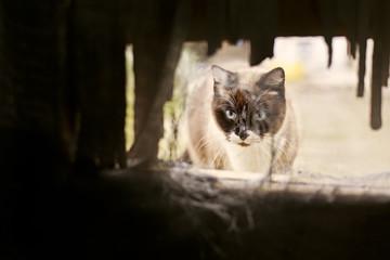 Spain, Siamese cat looking through hole
