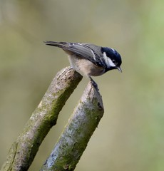 United Kingdom, England, Somerset, Coal Tit on branches