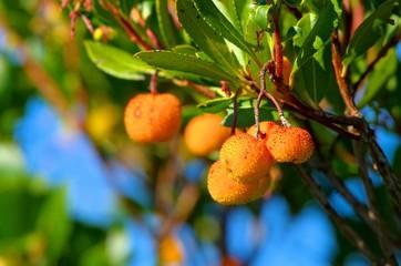 Erdbeerbaum - arbutus 16