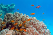 coral reef with porites coral and anthiases in tropical sea