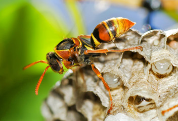 Australia, Western Australia, Perth, Wasp guarding hive