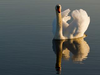 Norway, Fredrikstad, Tangen, Swan
