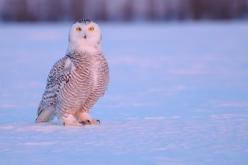 Canada, Quebec, Mirabel, Portrait of snowy owl