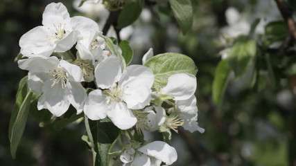 blossoming apple-tree close-up
