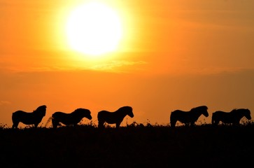 United Kingdom, England, Silhouette of wild horses at sunset