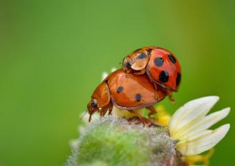 Indonesia, West Java, Bekasi, Mating ladybugs