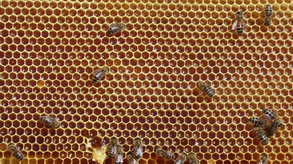bee honeycombs filled with honey