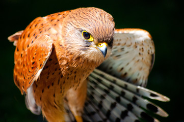 South Africa, Western Cape, Portrait of Rock Kestrel