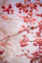 Holland, Netherlands, Pink Blossom
