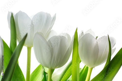 white tulip flowers isolated on white - 77412716