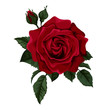 Beautiful red rose isolated on white. - 77413162