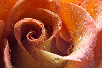 USA, Idaho, Up close of rose peals with water drops