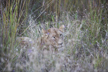 Lioness camouflaged by long grass