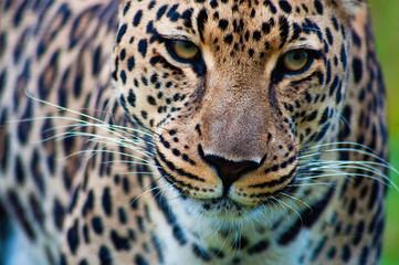 South Africa, Mpumalanga, Portrait of leopard