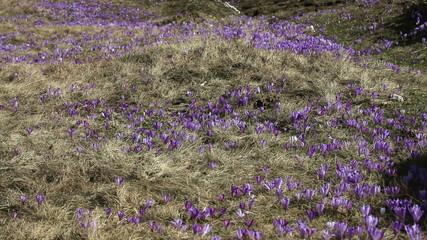 Hill full of saffron blossom