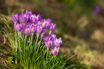 Krokusse im Frühlingslicht