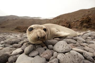 Guadalupe Island, Elephant seal