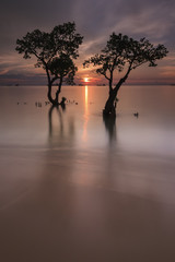 Indonesia, West Sumatra, Mangrove trees
