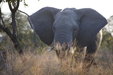 South Africa, Kruger National Park, Elephant in safari