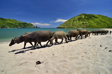 Indonesia, Lombok, Buffalos at Mawun beach