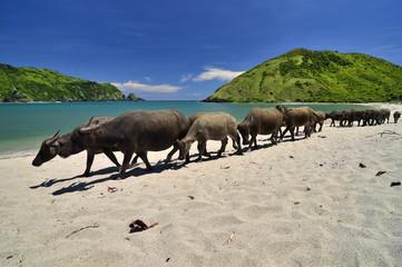 Indonesia, Lombok, Buffalos at Mawun beach