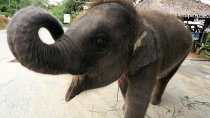Baby Elephant playful, Phuket, Thailand