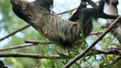 Shot of a sloth slowly climbing on tree branches
