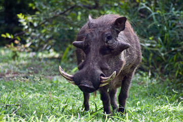 Limpopo, Eastern Cape, South Africa, Warthog