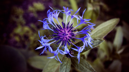 Cornflower in front of dark green background