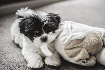 Netherlands, Puppy and stuffed animal