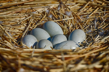 seven swan eggs in the nest